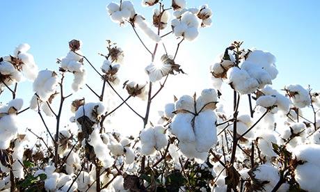 Planta de algodón